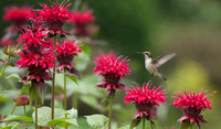Hummingbirds and Bees Balm